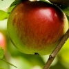 Picture of Apple 20 Ounce MM106