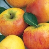 Picture of Apple Coxs Orange Pippin M9