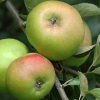Picture of Apple Bramley Seedling M9