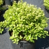 Picture of Pittosporum Goldenball