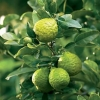 Picture of Lime Kaffir (Dwarf)