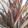 Picture of Phormium Spikey