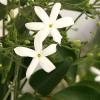 Picture of Jasminum Azoricum