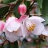 Picture of Camellia Minutiflora