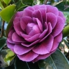 Picture of Camellia Sir Victor Davies