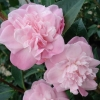 Picture of Camellia Sweet Jane Std