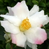 Picture of Camellia Yoi Machi