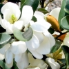 Picture of Michelia Gracipes Espalier