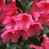 Picture of Rhododendron Winsome