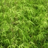 Picture of Bambusa Gracilis