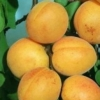 Picture of Apricot Dble Trevatt/Sundrop