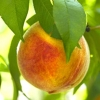 Picture of Peach Wiggins