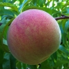 Picture of Peach Freestone Queen