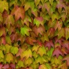 Picture of Parthenocissus T Veitchii