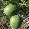 Picture of Feijoa Kakariki