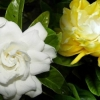 Picture of Gardenia Golden Magic