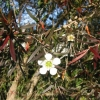 Picture of Leptospermum Coppersheen