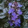 Picture of Ajuga Black Scallop