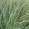 Picture of Carex Comans