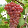 Picture of Grape Suffolk Red