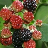 Picture of Blackberry Thornless