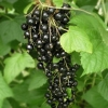 Picture of Currant Black Whistler