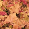 Picture of Heuchera Marmalade