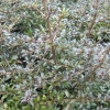 Picture of Coprosma Black Cloud