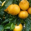 Picture of Grapefruit Golden Special