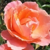 Picture of Fragrant Delight-Rose