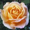 Picture of Scented Memory-Rose