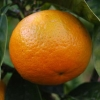 Picture of Orange Best Seedless