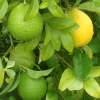 Picture of Lime Kusaie