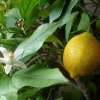 Picture of Lemonade Dwarf