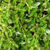 Picture of Coprosma Prostrata