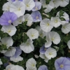 Picture of Convolvulus Two Moons