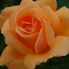 Picture of Sweet Perfume-Rose