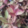 Picture of Pseudowintera Burgundy Delight