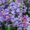 Picture of Nemesia Lilacberry Ripple