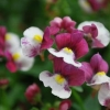 Picture of Nemesia Raspberries and Cream