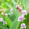 Picture of Convallaria Majalis Rosea