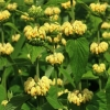 Picture of Phlomis Russeliana