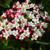 Picture of Viburnum Gwenllian
