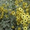 Picture of Helichrysum Argyrophyllum