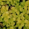 Picture of Sedum Makinoi Ogon