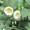 Picture of Abutilon White Dwarf