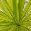 Picture of Cordyline Jive