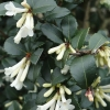 Picture of Osmanthus Pearly Gates