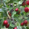 Picture of Malus Crabapple Jack Humm