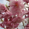 Picture of Prunus Pendula Rosea H/W 1.5m